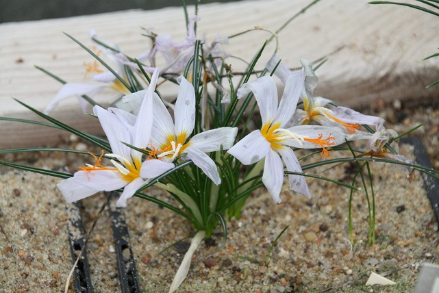 Crocus tournefortii