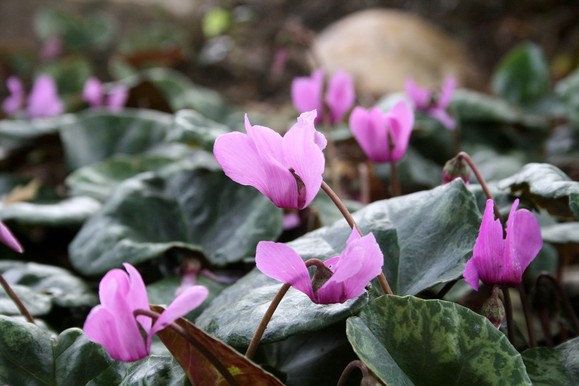 Cyclamen purpurascens 07 08 2017aw