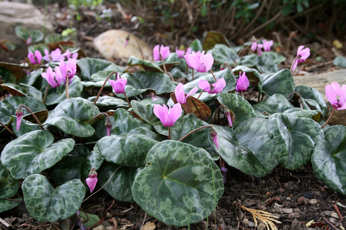 Cyclamen purpurascens 07 08 2017w
