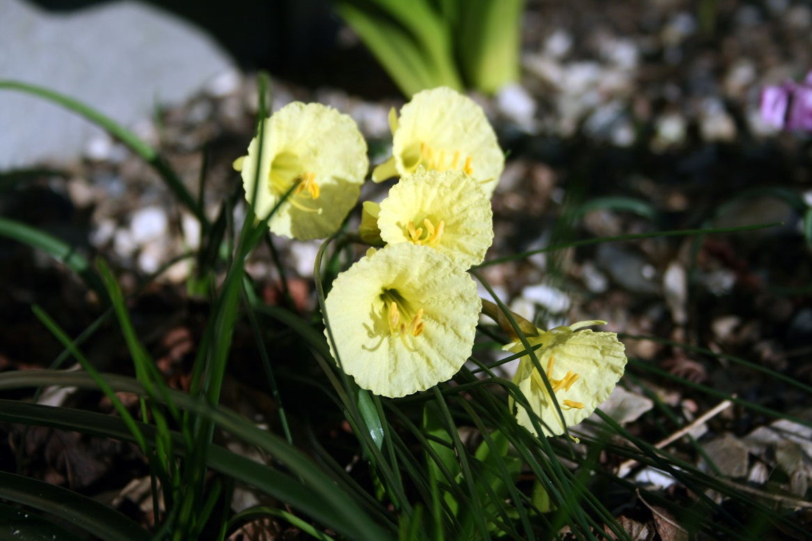 Narcissus romieuxii Julia Jane 15 02 2019web