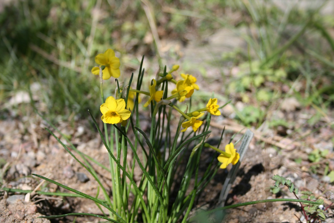 Narcissus Kokopelli 23 04 2020web
