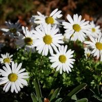 K10-Chysanthemum weyrichii 'White'_1