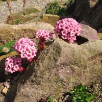 11. Crassulaceae