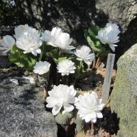 K15 Sanguinaria Canadensis Flore Plena