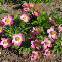 K20 - Anemone fasciculata_1