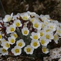 K21- Saxifraga burseriana x crenata_1
