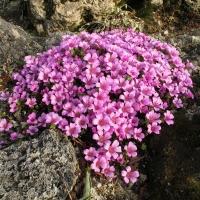 K21 - Saxifraga oppositifolia 'Le Bourg'_1