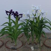 K26-Iris ausher_1