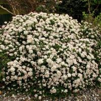 K30 - Leiophyllum buxifolium var prostratum _1