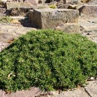 32. Dværg stedsegrøn