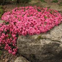 K33 - Daphne cneorum pygmae 'Herskind Star'_1
