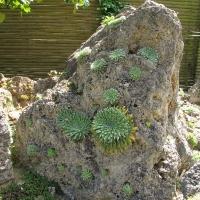 34. Stenbedsplante som dyrkes for bladeffekt