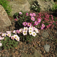 K03 - Oxalis enneaophylla og Daphne cneorum pygmae_1