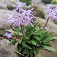 K04 Heloniopsis orientalis var Breviscapa