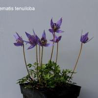 K06-Clematis tenuiloba_1