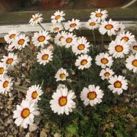 K06 - Chrysanthemum marisii_1