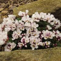 K07 - Aethionema oppotisifolia_1
