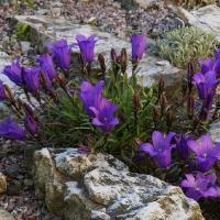 K08-Edraianthus serphyllifolius_1