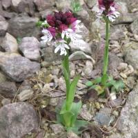 K11-Orchis ustulata_1