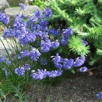 K12-Allium sikkimensis_1
