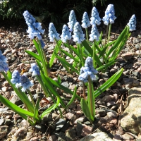 K12-Hyacinthus azureus_1
