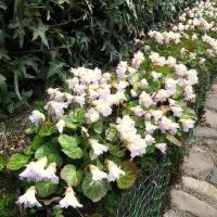 13. Rhododendron og andre surbundsplanter