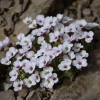 K04-Saxifraga Mary Golds_1