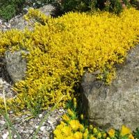 5. En alpin plante i blomst som ikke er dækket af klasserne 6-9
