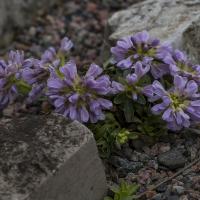 K05-Thlaspi bellidifolium_1