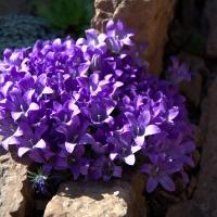 K06-Edraianthus Owerianus_1