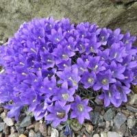 K06-Edraianthus pumilio_1