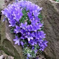 K06-Edraianthus pumilo_1