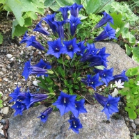 K06-Gentiana 'Trumpets of Jericho'_1