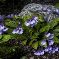 K07-Haberlia ferdinandii-coburgi Connie Davidsson_1