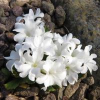 K08-Primula daonensis alba_1