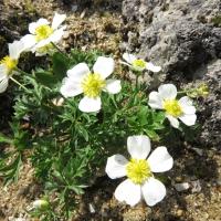 K09-Ranunculus seguieri_1