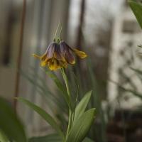 K10- Fritillaria pinardii Ole Sönderhausen_1