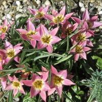 K10-Tulipa aucheri_1