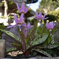 K10 - Erythronium dens-canis Purple King_1