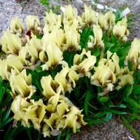 11. Orkideer, Arisaema, Paris, Trillium , Iris, Nomocharis og Liljer