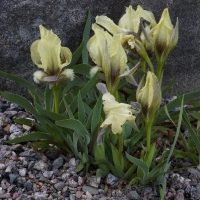 K11-Iris suaveolensis Helvolus Group_1
