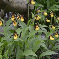 K11 - Cypripedium Parville_1