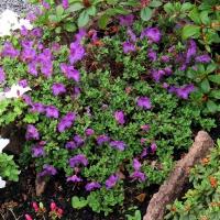 K13-Rhododendron calostrotum ssp keleticum (R. radicans)_1