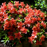 K13-Rhododendron nakaharae_1
