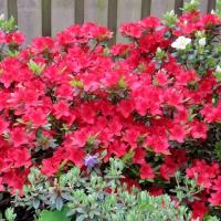 K13-Rhododendron obtusum 'Fridoline'_1