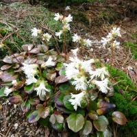 K13-Shortia ilicifolia alba_1
