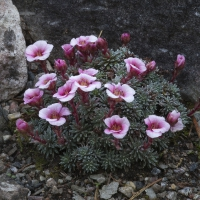 K04-Saxifraga megasiflora Jan Nerunda_1