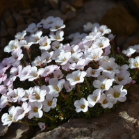K04 - Saxifraga Mary Golds_1