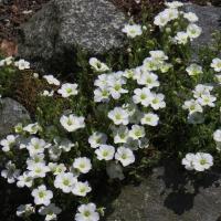 K05-Arenaria montana 'Avalanche'_1