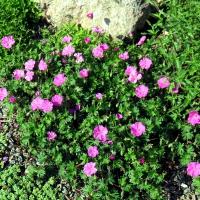 K05-Geranium sanguineum 'Shepherds Warning'_1